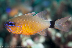 BD-140320-Baiicasag-2834-Ostorhinchus-aureus-(Lacepède.-1802)-[Ringtailed-cardinalfish].jpg